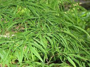 Изящный вид растению придают яркие зеленые листья