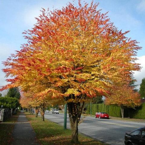 Это медленно растущее, многоствольное, округлое в очертании дерево