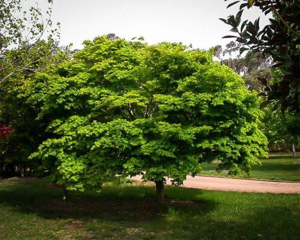 Дерево с шаровидной кроной