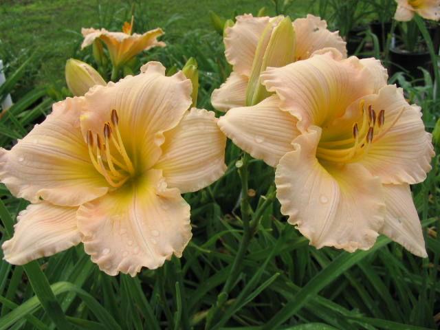 Цветки бежево-розового цвета