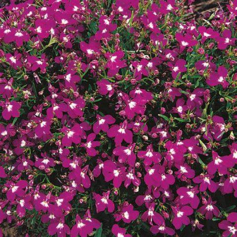 Цветки глубокого вишнево-красного цвета