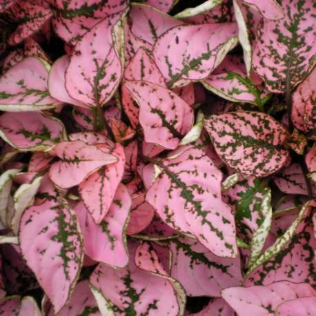 Листья покрыты крупными розовыми пятнами