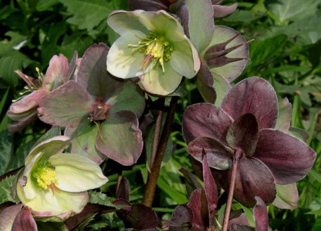 Соцветия, состоящие из чашевидных желто-зеленых цветков