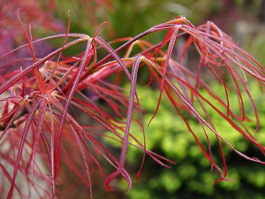 Его листья с узкими лопастями в начале сезона темно-красные