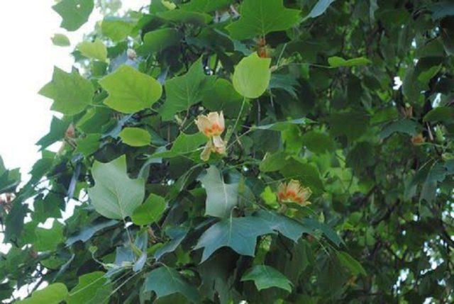 Желтовато-зеленые чашевидные цветки