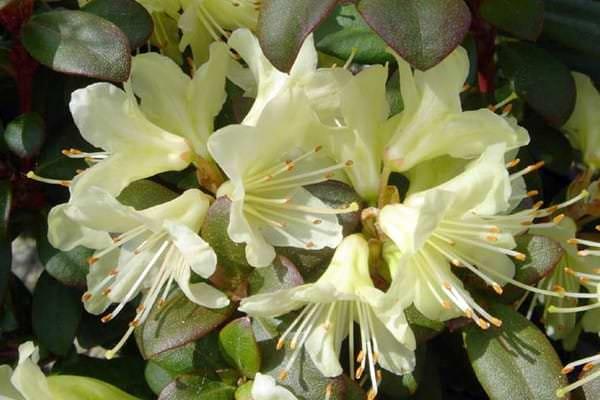 Цветки кремово-желтой окраски