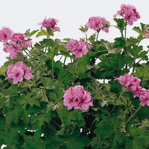 Мощное растение с розовыми цветками