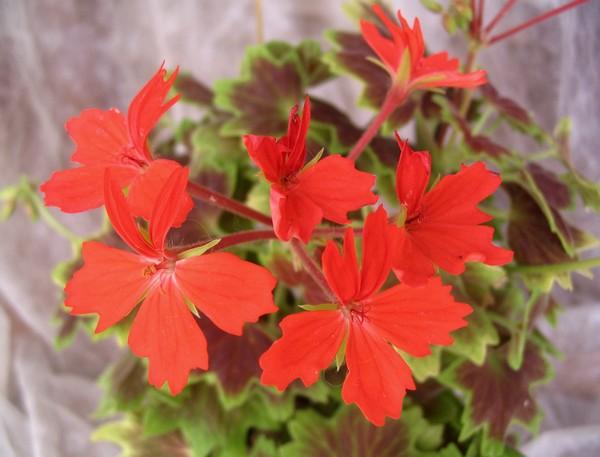 Звездчатые кирпично-красные цветки