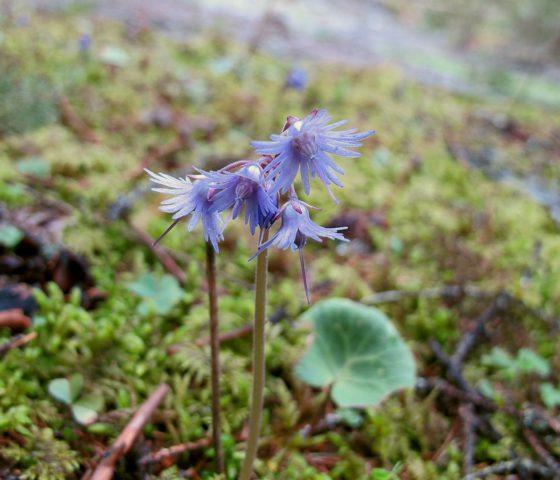 Пурпурно-синие цветки собраны на верхушках стеблей