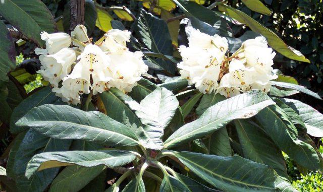 Крупные зонтики кремово-белых цветков