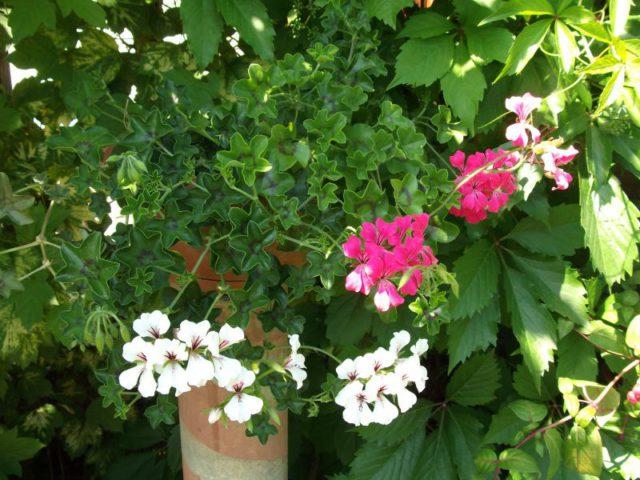 Зонтики темно-красных звездчатых цветков