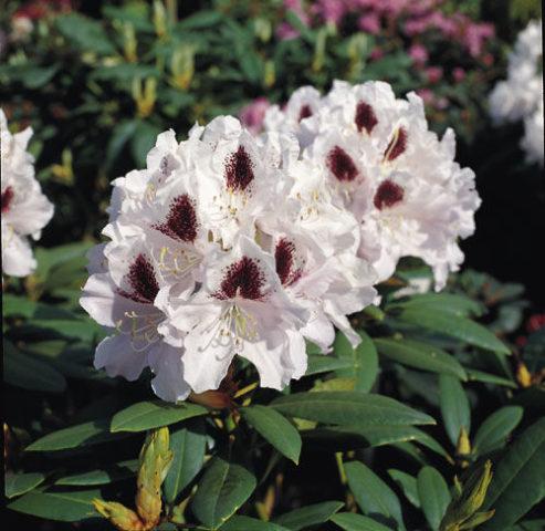 Цветки лилово-лавандовые