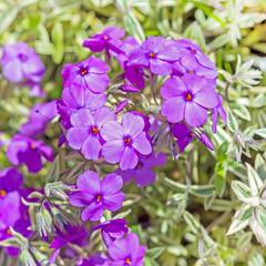 Гибрид образует рыхлый ковер с лиловыми цветками