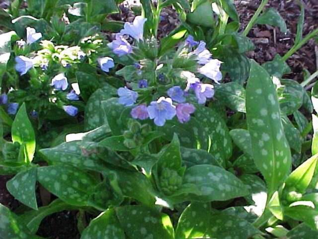 Темно-синие цветки в крупных плотных завитках