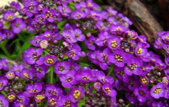 """""""Violet Queen"""""""