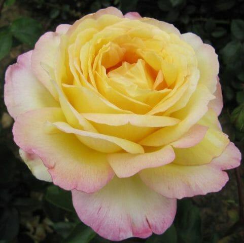 «Аптекарская роза»