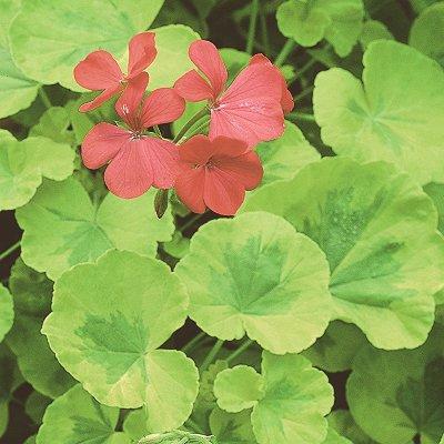 Сердцевидные листья