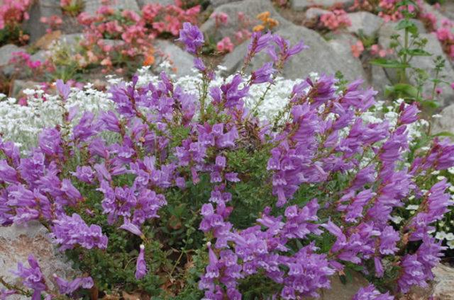 Голубовато-лавандовые цветки