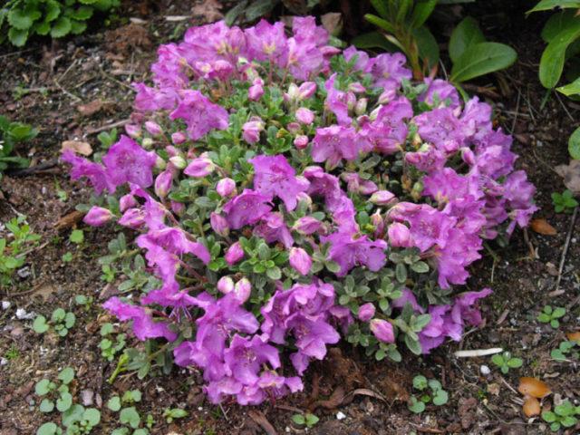 Блюдцевидные лиловые цветки