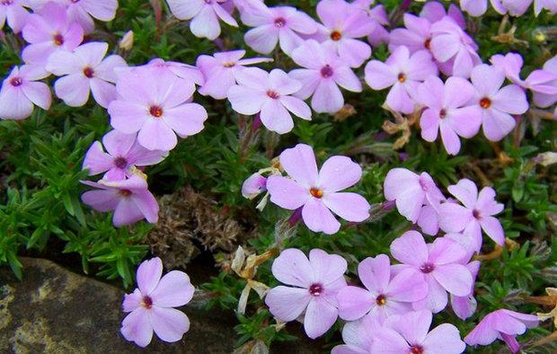 Цветки лавандовые с темно-синим центром