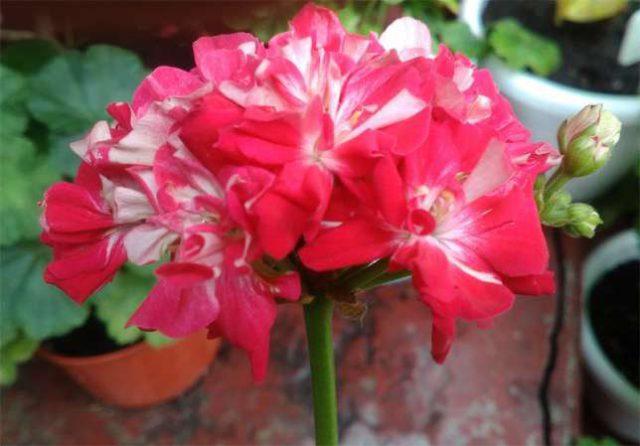 Махровые оранжево-розовые цветки в зонтиках
