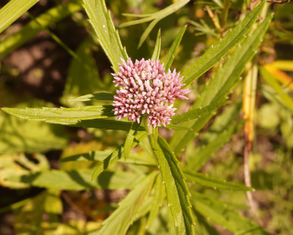 Соцветия мелких цветков