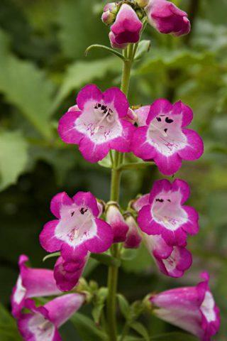 Цветки темно- или лиловато-синие