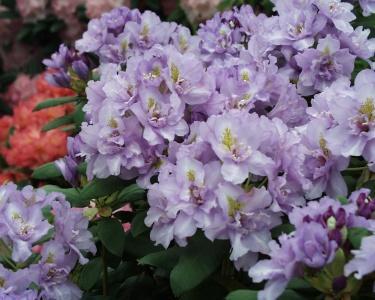 Светло-лиловые полумахровые цветки