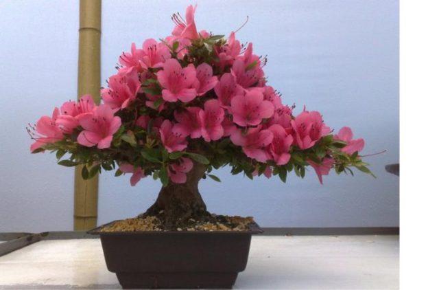 Много розовато-пурпурных цветков