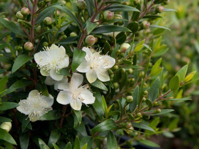 Сорт с кремово-белыми цветками
