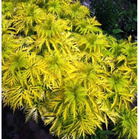 Золотисто-желтая листва