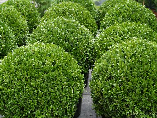 Самшит вечнозеленый