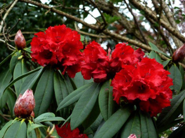 Густо-кроваво-красные цветки