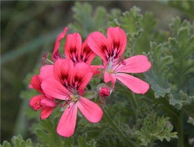 Мелкие розовые и лиловые цветки