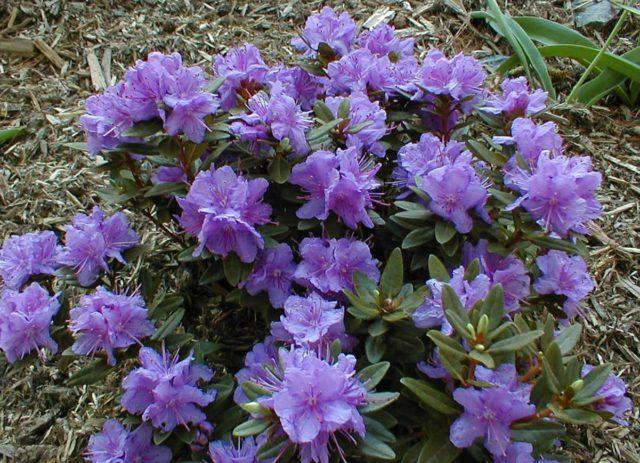 Колокольчатые цветки