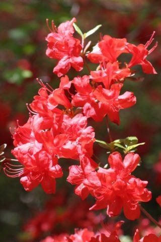 Цветки густо-розовые