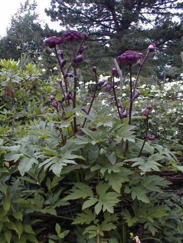 Зонтики винно-красных или пурпурных цветков