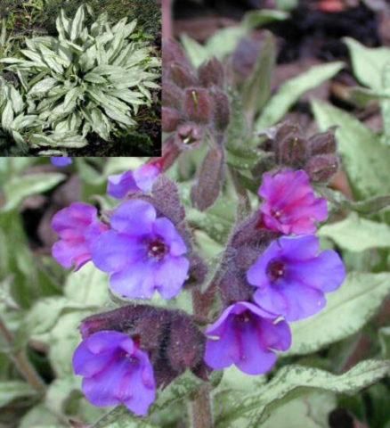 Цветки ранние, светло-голубые