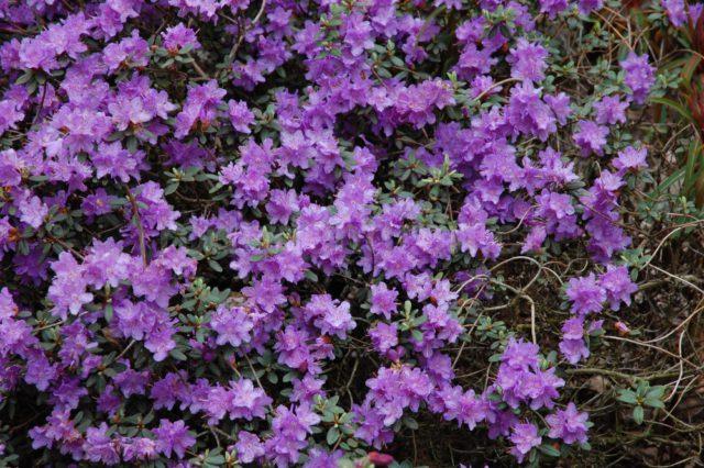 Бледно-фиолетовые цветки