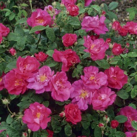 Сорт розы гальской