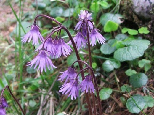 Лиловые или пурпурно-синие цветки