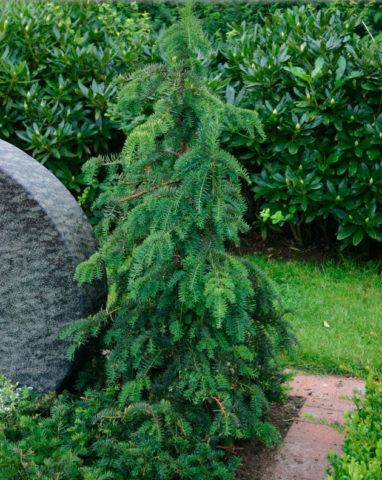 Изящное дерево с очень широкой раскидистой кроной