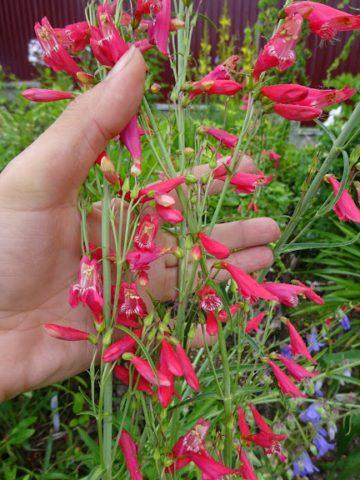 Рыхлые кисти розовато-красных цветков