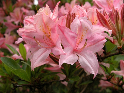 Округлые зонтики бахромчатых кроваво-красных цветков