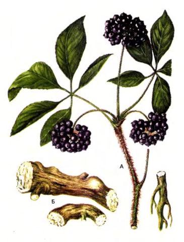 Кисти черных ягод