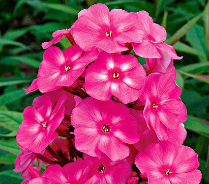 Мощный раскидистый вид с метелками цветков