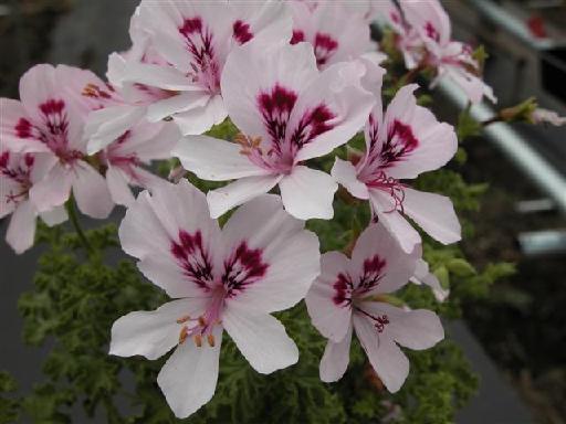 Полумахровые розовато-лиловые цветки