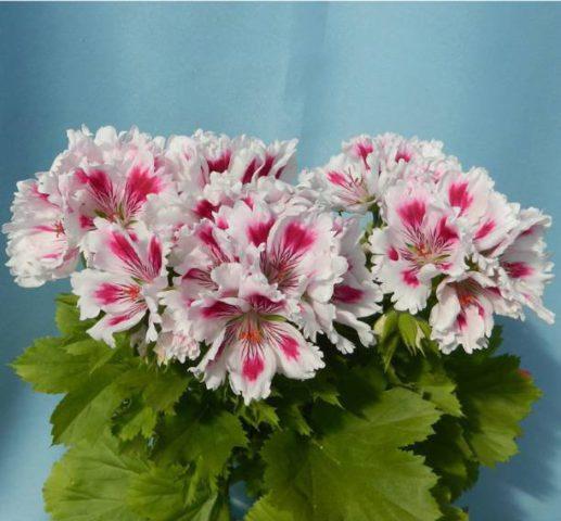 Бахромчатые края и розовато-лиловый перистый узор