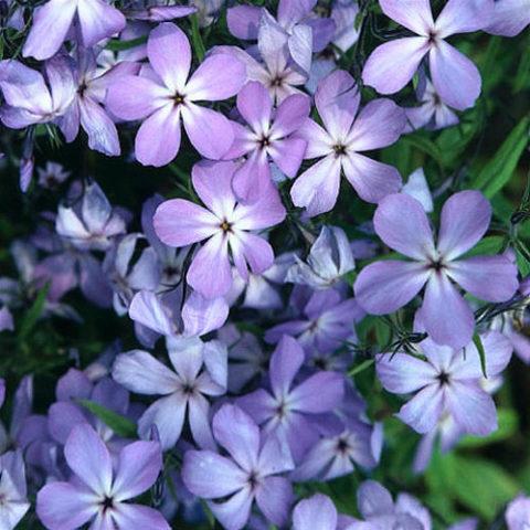 Цветки лиловые, с относительно длинными трубками