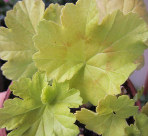 Листья золотистые